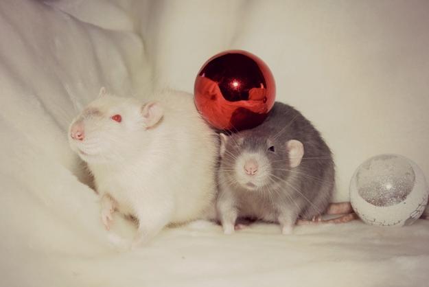 Huisdier ratten, bluepoint siamees en blauw berken, fotoshoot kerstbal